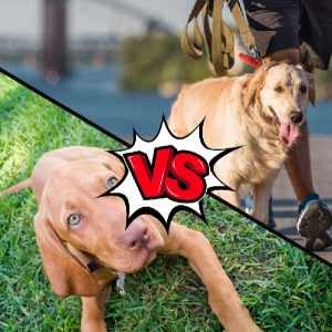 Vizsla vs Golden Retriever What Is The Difference