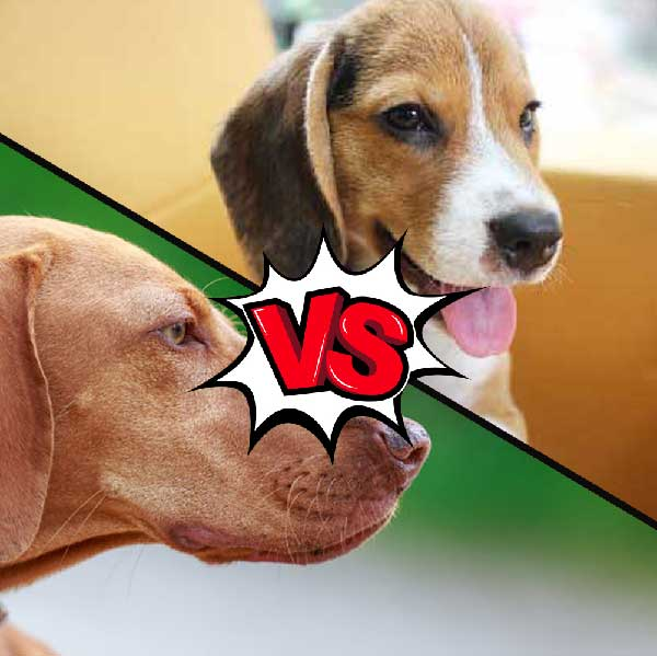Vizsla vs Beagle What Is The Difference