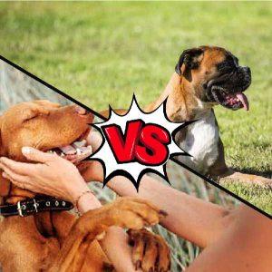 vizsla vs boxer