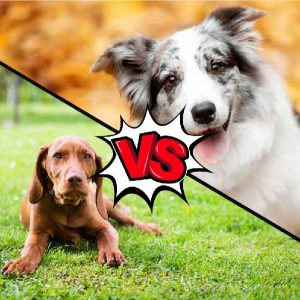Vizsla vs Collie