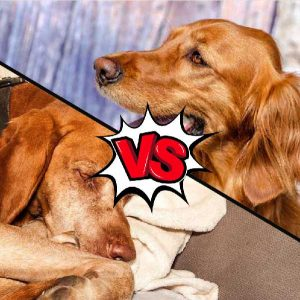 Vizsla vs Irish Setter What Is The Difference