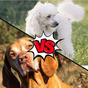 Vizsla vs Poodle What Is The Difference