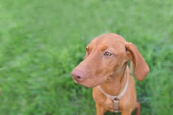 Can Your Vizsla Tell How Long You've Been Gone?