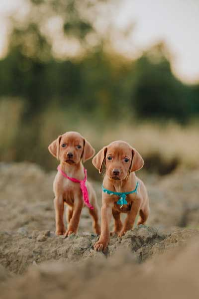 Why is My Vizsla Puppy Always Hungry?