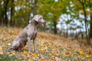 Do Weimaraner Dogs Bark a Lot?