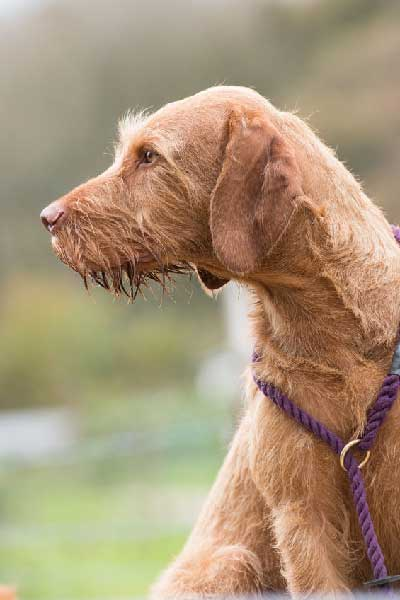 Do Wirehaired Vizsla Smell?