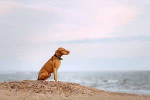 Seven Things to Do if Your Vizsla is Lost