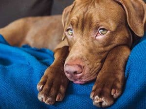 How to Tell if Your Vizsla is in Pain and What to Do to Help?