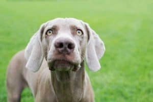 What Do You Need to Know Before Getting a Weimaraner?