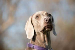 10 Facts You Need to Know About Weimaraner Dogs