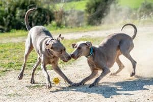 Why Cut the Weimaraner Tail?