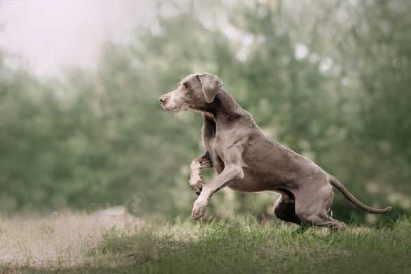 Weimaraner Lifespan How Long Do They Live?
