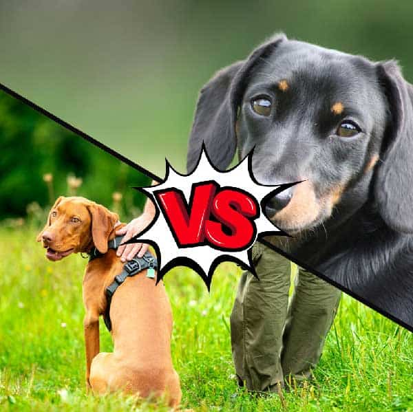 Vizsla vs Dachshund What Is The Difference