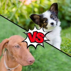 Vizsla vs Papillon What Is The Difference