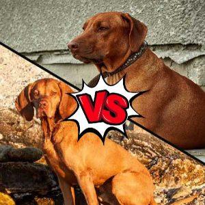 Vizsla vs Rhodesian Ridgeback