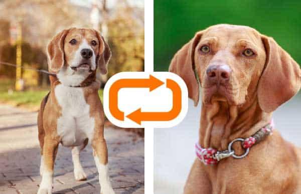 Vizsla Beagle Mix