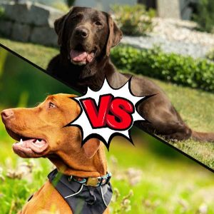 Vizsla vs Labrador Retriever What Is The Difference