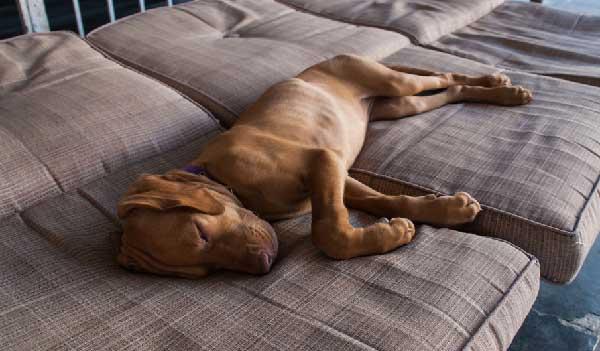 Where Should a Vizsla Sleep?