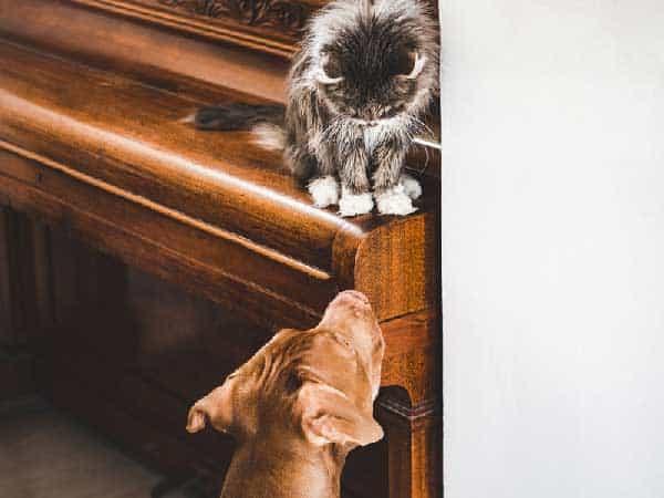 Vizsla and Cats