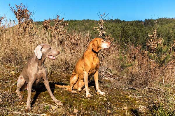 Vizsla Aggressive to Other Dogs