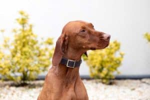 When to Neuter Vizsla?