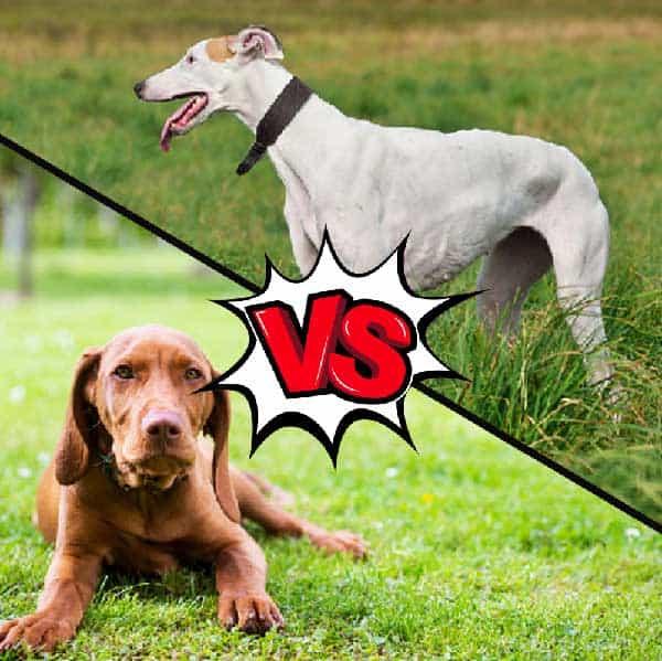 Vizsla vs Greyhound