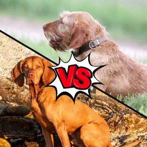 Vizsla vs Wirehaired Vizsla