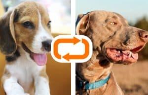 Weimaraner Beagle Mix
