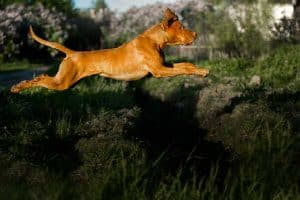 When Can Vizslas Start Running?