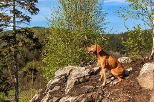 How Do Vizslas Hunt?
