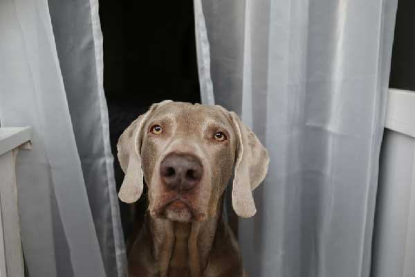 Complete Guide to Weimaraner Rehoming