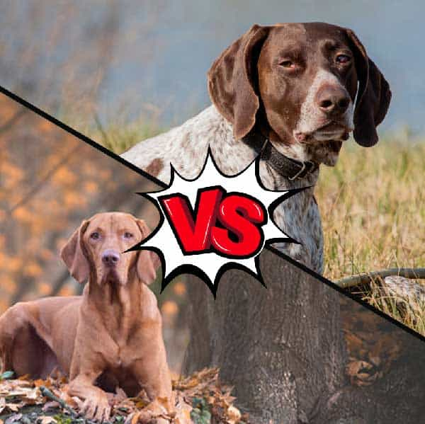 Vizsla vs Plott Hound