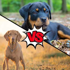 Vizsla vs Rottweiler