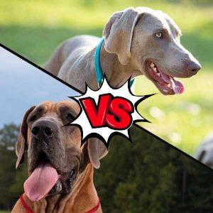 Weimaraner vs Great Dane
