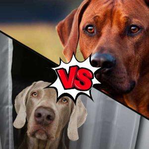Weimaraner vs Rhodesian Ridgeback What's the Difference