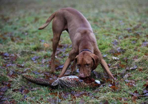 Training Your Vizsla to Hunt
