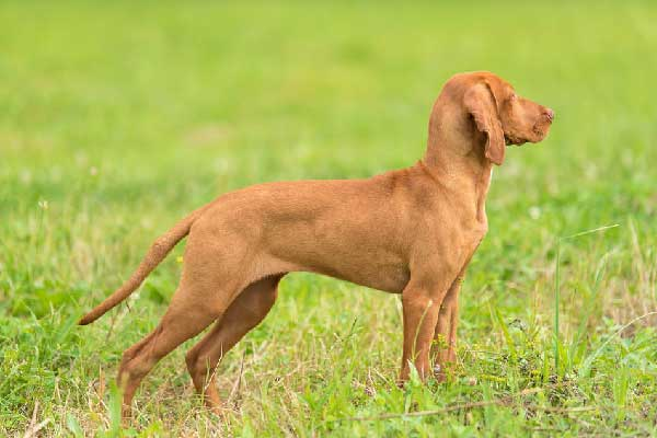 Training Your Vizsla to Point