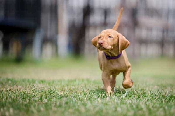 Vizsla Puppy Recall Training Guide