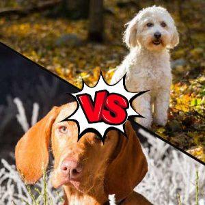 Vizsla vs Labradoodle