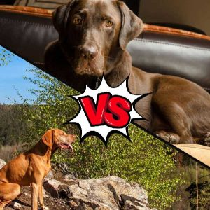 Vizsla vs Chocolate Lab