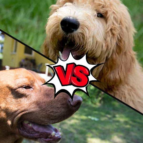 Vizsla vs Goldendoodle What's the Difference