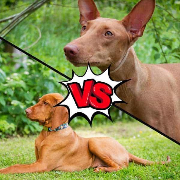 Vizsla vs Pharaoh Hound
