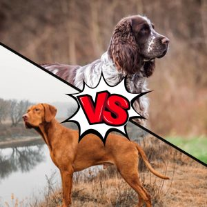 Vizsla vs Springer Spaniel