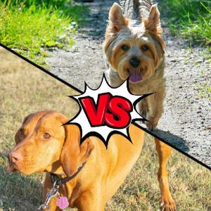 Vizsla vs Yorkshire Terrier