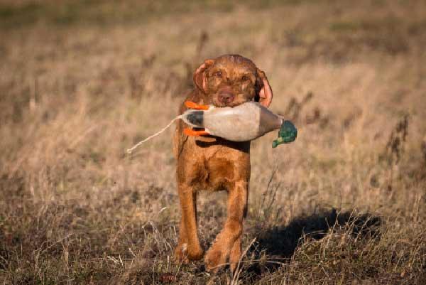 Vizsla Bird Dog Training
