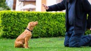 Vizsla Dog Gun Training Guide