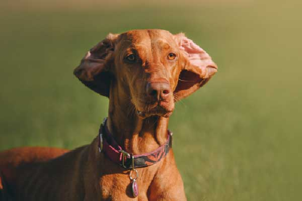 Vizsla Whistle Training Guide