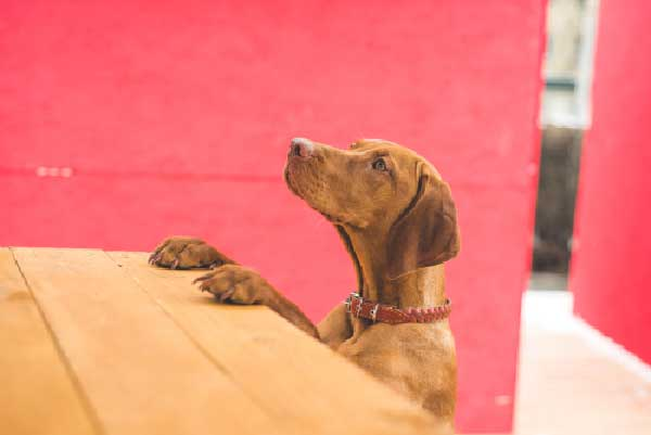 How Long Does It Take to Train a Vizsla?