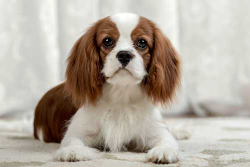 Do Cavalier King Charles Spaniels Bark a Lot?