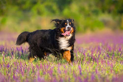 Is a Bernese Mountain Dog a Good Family Dog?
